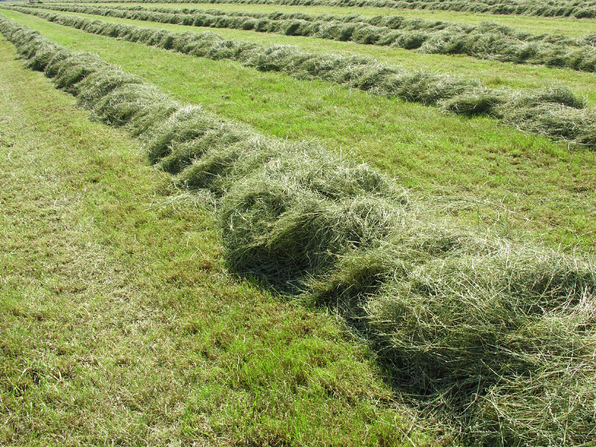 Das frisch-gemähte Gras trocknet unter freiem Himmel vor und wird dann auf dem Hof von Speers Hoff gefahren